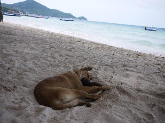 タオ島の犬猫